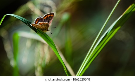 female blue Argus butterfly resting on tall green grass