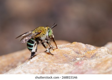 Female blue banded bee is sucking food from the rock