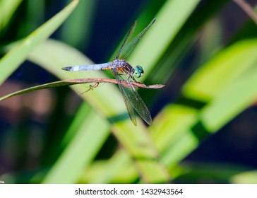 Female Blue Dasher Dragonfly resting on a leaf near a pond with a friend