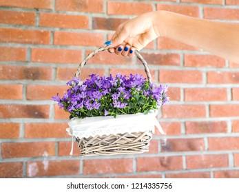 Female with blue manicure holding basket of purple flowers in full bloom towards orange brick wall