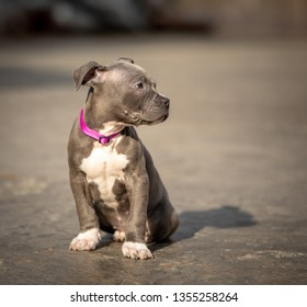 Blue Pitbull Images, Stock Photos & Vectors | Shutterstock