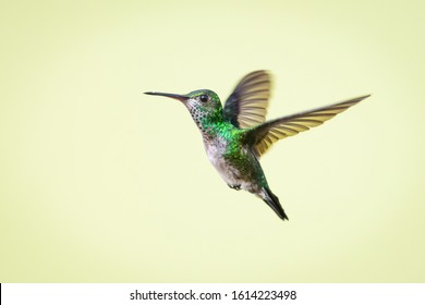 A female Blue-chinned Sapphire hummingbird hovers in the air with a smooth background.
