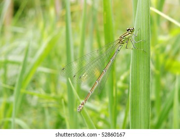 female blue-tailed damselfly resting on grass blade