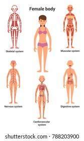 Female body. Human anatomy. Skeletal and muscular, nervous and circulatory, human digestive systems illustration