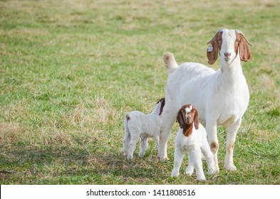 A  female  Boer goat and her two kids  out on pasture  on a hillside  on a farm  in Virginia.  the green grass and  blue sky give a warm  summer feeling.