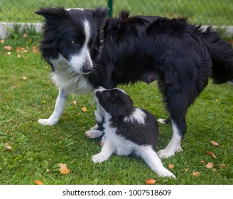 female border collie playing with her puppy