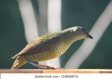 A female bowerbird is standing in profile on a fence. Her body is in tones of brown and green, and her eyes are blue. The white branches of a tree in the background form an abstract pattern.
