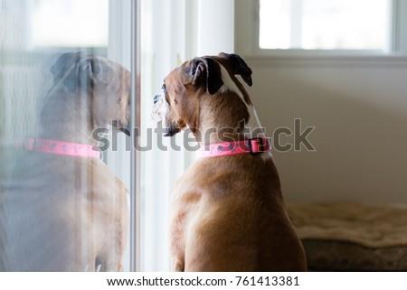 Female Boxer Dog Stuck Inside Staring Stock Photo Edit Now