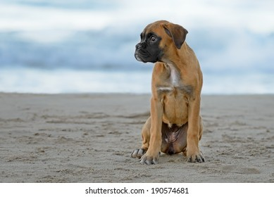 Female boxer puppy poses at the beach