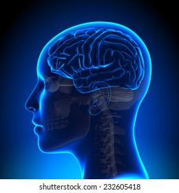 Female Brain Anatomy Blank