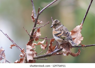Female brambling sitting on an oak branch