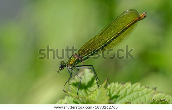 female-broad-winged-damselflies-prey-600