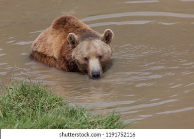 A female brown bear playing in a muddy pond in the spring sunshine.