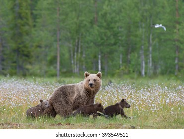 Female brown bear with three cubs, walking in the grass, with forest background, Finland, Europe