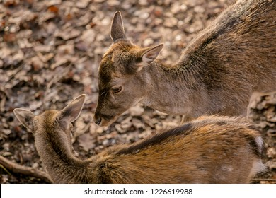 Female of brown reddish european fallow deer and young offspring, blurry background with dry leaves on ground, sunny autumn day in a game park