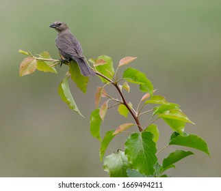 A female brown-headed cowbird (Molothrus ater) perches at the top of a Callery pear (Pyrus calleryana) tree at Seven Islands State Birding Park, Knox County, Tennessee, headed, cow