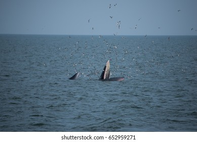 Female Bryde's whale and her calf in the gulf of thailand is doing unique behavior, lunge feeding, near the shore.