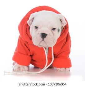 female bulldog puppy wearing pink sweater on white background