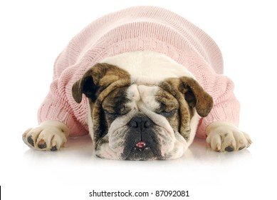 female bulldog wearing pink sweater sleeping on white background