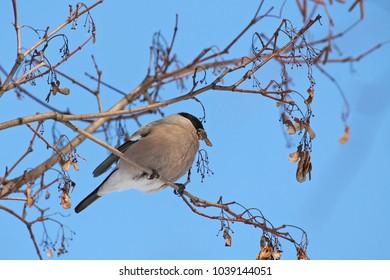 Female bullfinch sitting on branch on blue sky background