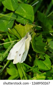 Female Cabbage White Butterfly perched on a leaf. Colonel Samuel Smith Park, Toronto, Ontario, Canada.