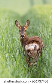 A female and calf Roe Deer (Capreolus capreolus) standing in a wheat field, against a blurred natural background, East Yorkshire, UK