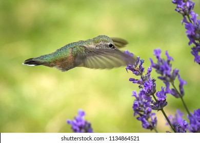 A female calliope hummingbird, selasphorus calliope, drinks the nectar from a lavendar flower.
