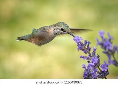 A female calliope hummingbird, selasphorus calliope, drinks the nectar from a lavendar flower.