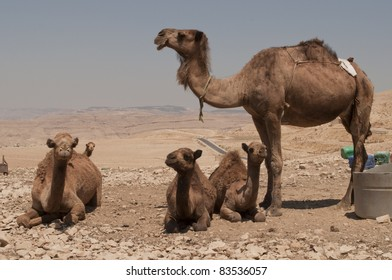 Female camel and her baby camels