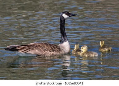 Female Canada goose (Branta canadensis) with goslings in a lake, Iowa, USA.