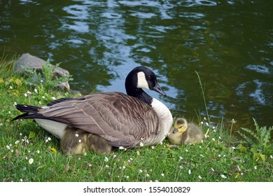 Female Canada goose (Branta canadensis) with 3 goslings, two of them hiding under their mother's wing.