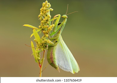 Female cannibal, carnivorous predator insect creature, European mantis, praying mantins (Mantis religiosa) sitting on a plant in a typical praying like position