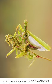 Female cannibal, carnivorous predator insect creature, European mantis, praying mantins (Mantis religiosa) sitting on a plant