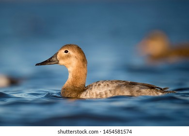 A female Canvasback duck floats on the bright blue water on a sunny day with some out of focus ducks in the background.