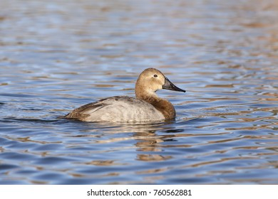 Female Canvasback Duck on Lake