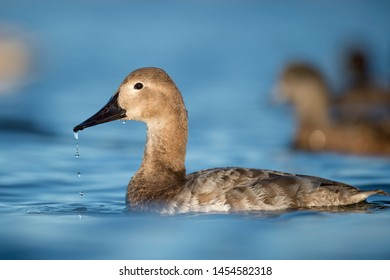 A female Canvasback duck with water drops falling from her bill in the bright sun in the blue water