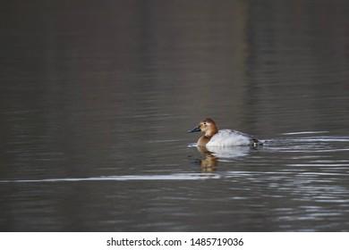 Female canvasback duck in Winter
