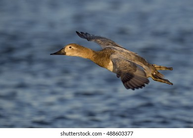 A female Canvasback glides in to land on the water in the late evening sun.