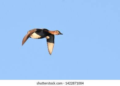 A female Canvasback quickly flies to its evening roost.