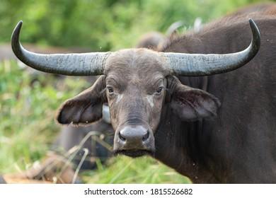A female Cape Buffalo showing beautiful horns.