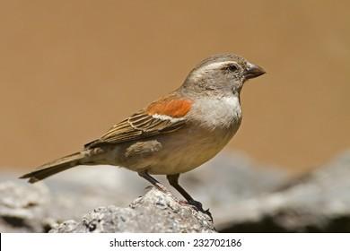 Female Cape Sparrow; Passer melanurus