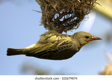 Female Cape weaver hangs off nest and inspects the nest for approval. Taken at Koffylaagte game lodge,eastern cape,south africa