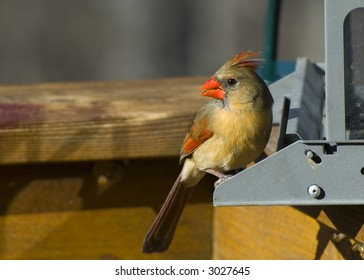 Female Cardinal at a Bird Feeder