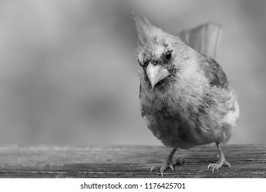 Female cardinal black and white photography