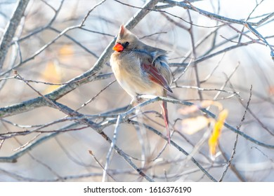 A female cardinal (Cardinalis cardinalis) perched in a tree in winter.