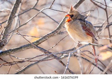 A female cardinal (Cardinalis cardinalis) perched in a tree with mouth open calling in winter.