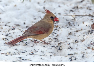 Female Cardinal eating sunflower seeds on the snow covered ground