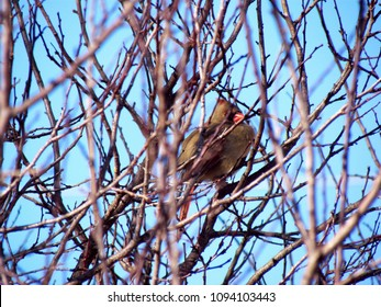 a female cardinal hides among the bare branches of a tree in winter; Harrisonburg, VA, USA