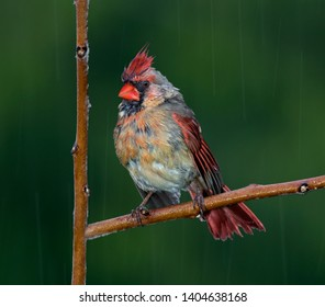 A female cardinal looks drenched after being caught in a rain storm.