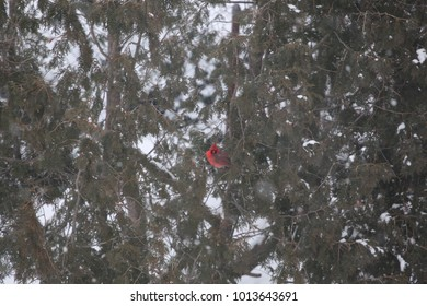 A female Cardinal perched in an evergreen tree in a snowstorm